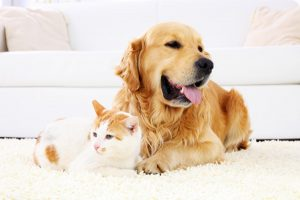 big dog lying on carpet with cat