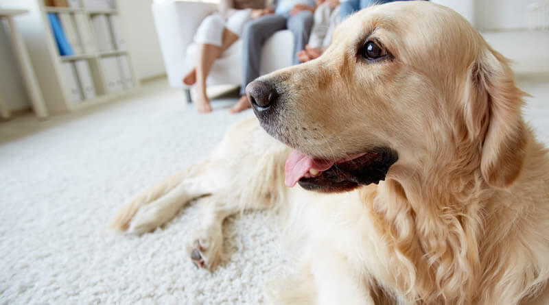Carpeting Can Be Comfortable For You And Your Dogs But Make Sure Select The